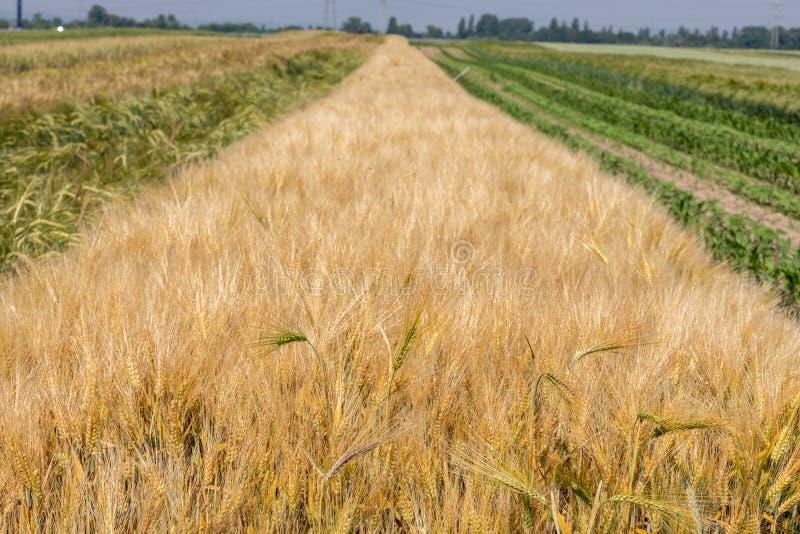 Épillets de blé dans le domaine en Allemagne images stock