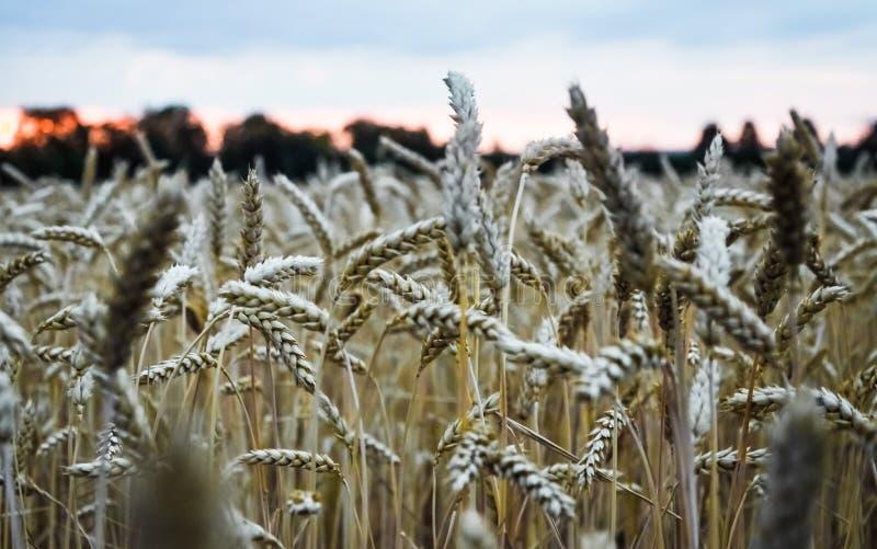 Épillets des céréales sur le champ de blé au crépuscule après coucher du soleil, foyer sélectif photos stock