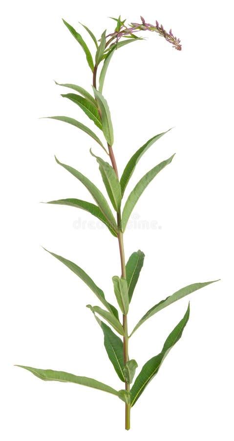Épilobe, angustifolium de Chamerion pas encore en fleur d'isolement sur le fond blanc photos stock