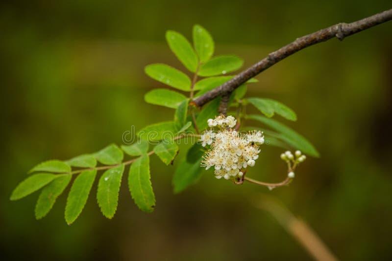 Épilobe indigène de l'Alaska s'élevant près de la forêt avant la floraison photographie stock libre de droits