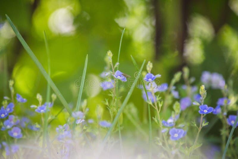 Épilobe indigène de l'Alaska s'élevant près de la forêt avant la floraison photos libres de droits