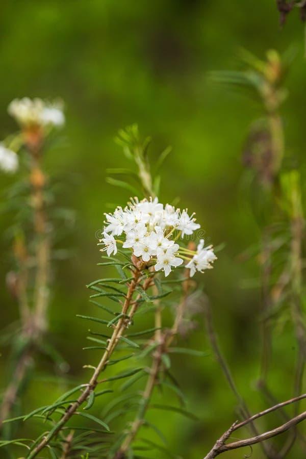 Épilobe indigène de l'Alaska s'élevant près de la forêt avant la floraison photo stock