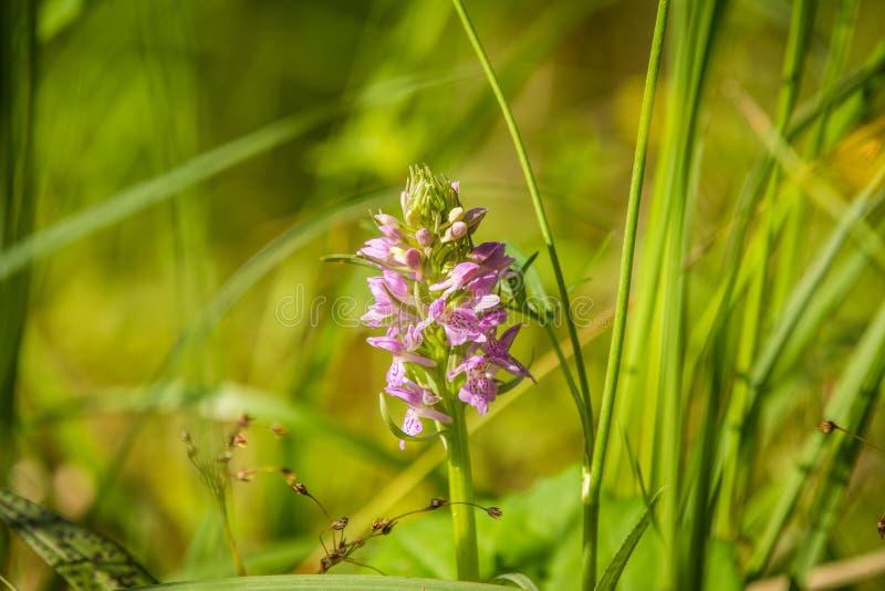 Épilobe indigène de l'Alaska s'élevant près de la forêt avant la floraison photos stock