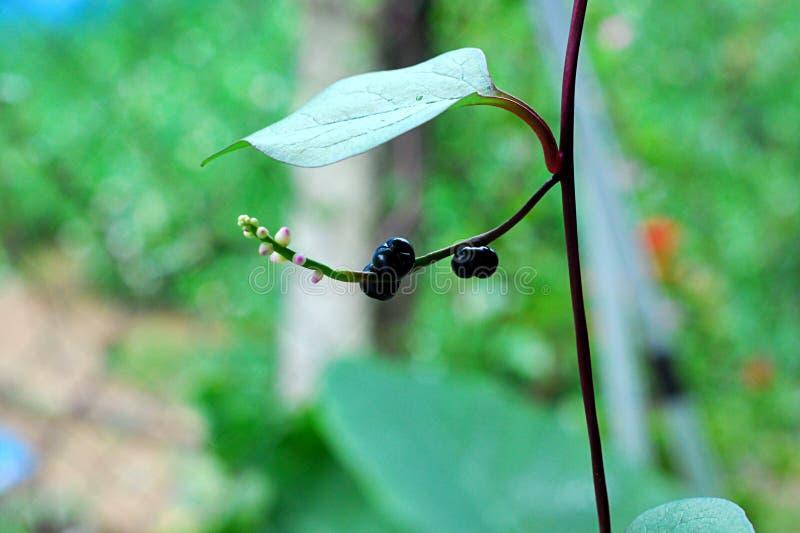 Épinards de Malabar photographie stock
