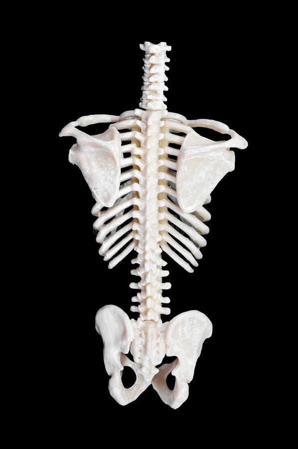 Épine d'un squelette image libre de droits