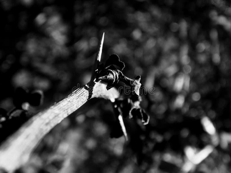 Épine d'une rose photographie stock