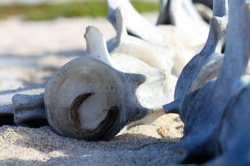 Épine de baleine photos libres de droits