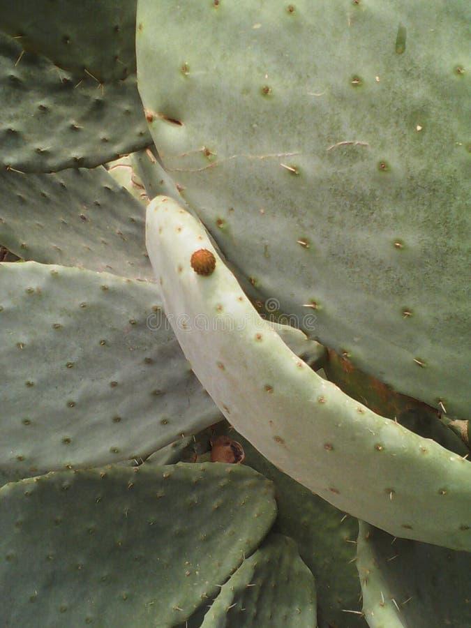Épine de cactus de sabra images libres de droits