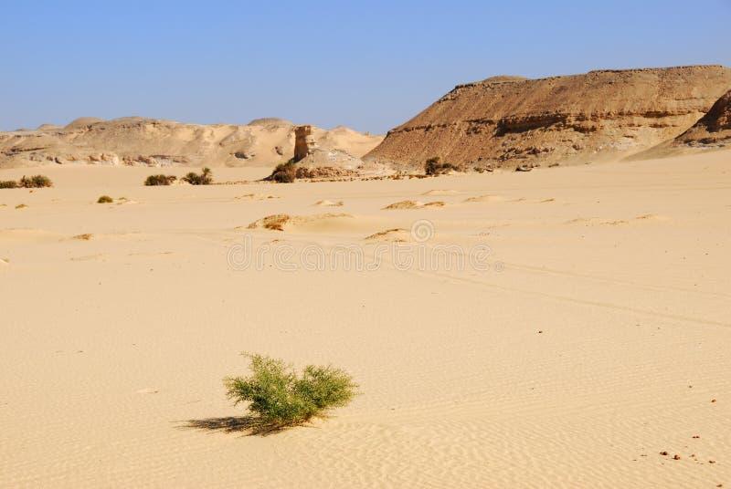 Épine de chameau dans le désert photo stock