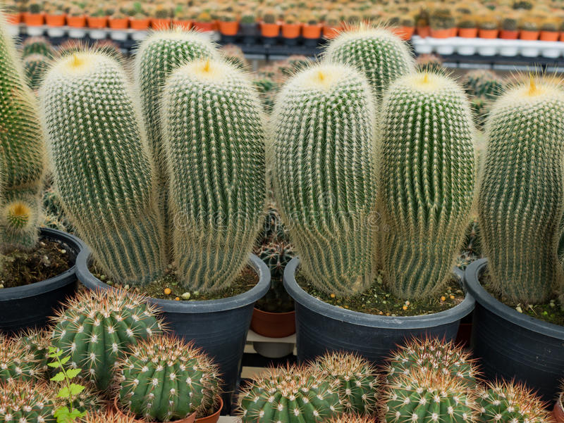 Download Épine et fleur de cactus image stock. Image du fleur - 87702451