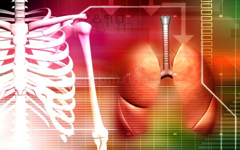 Épine humaine avec des poumons illustration de vecteur