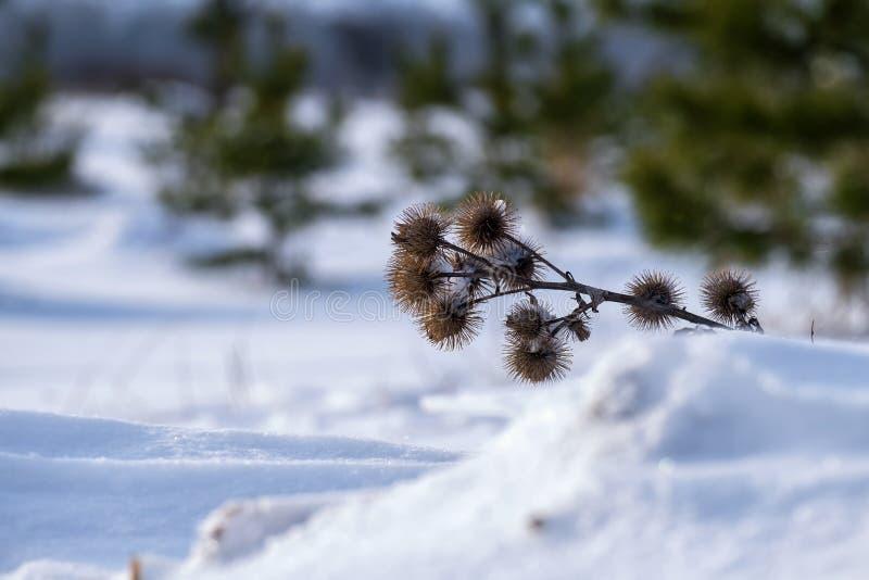 Épines sèches de bardane en hiver photo libre de droits