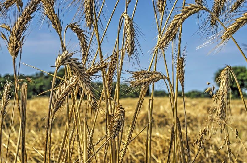 Épis de blé au bord d'un champ photographie stock libre de droits