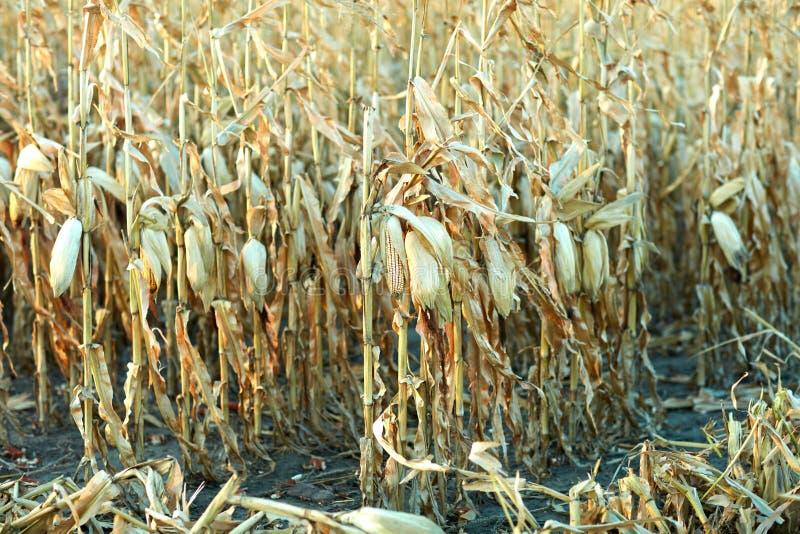 Épis de maïs dans un domaine des usines de maïs sèches photographie stock libre de droits
