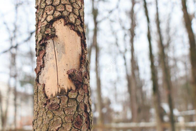 Épluchage d'écorce d'arbre image libre de droits