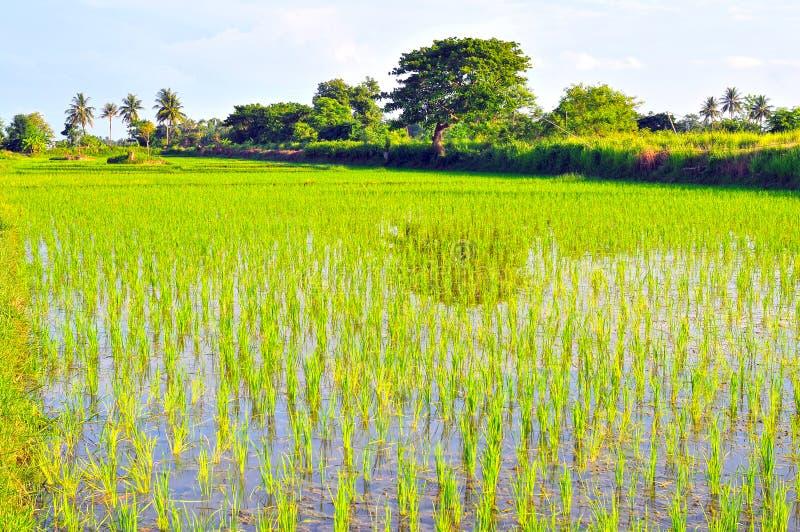 Época del cultivo, campo de temporada del arroz imagen de archivo
