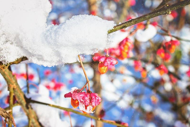 A época do inverno e da neve Sol do inverno Céu azul Natureza nevado do inverno Ar gelado A primeira neve do inverno nas árvores fotografia de stock royalty free