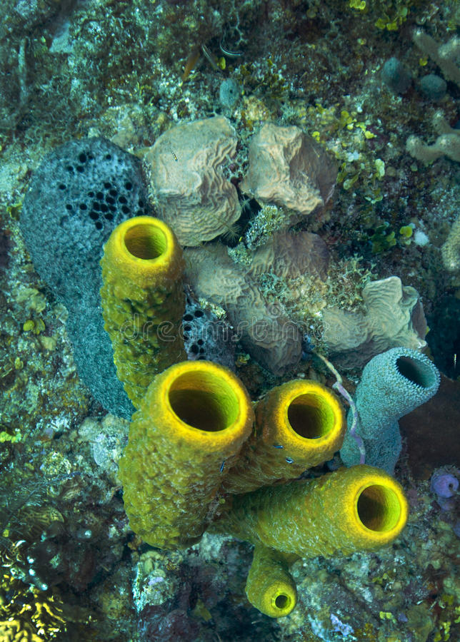 Éponge de tube - Belize photo libre de droits