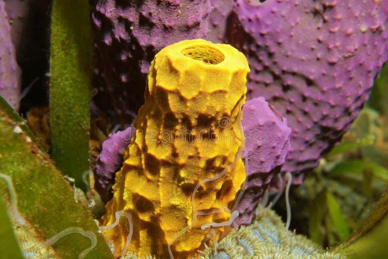 Éponge jaune de tube d'espèce marine avec l'éponge pourpre photo stock