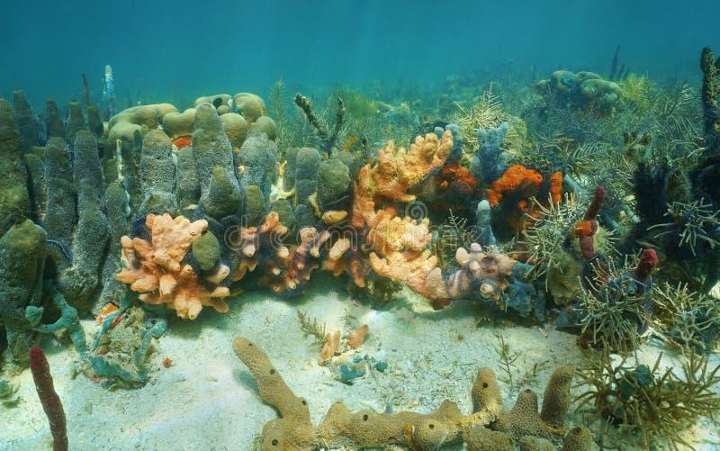 Éponges colorées sous-marines dans un récif coralien photos libres de droits