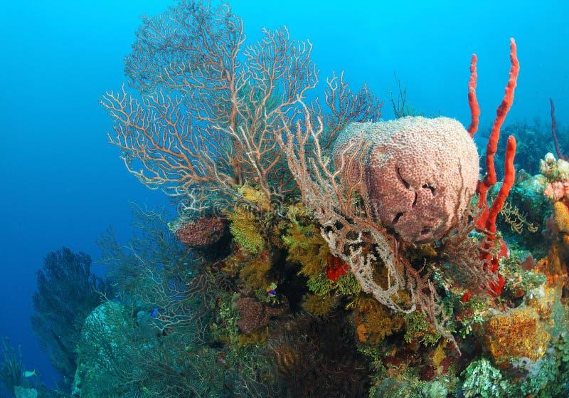 Éponges colorées sur le récif coralien photos stock