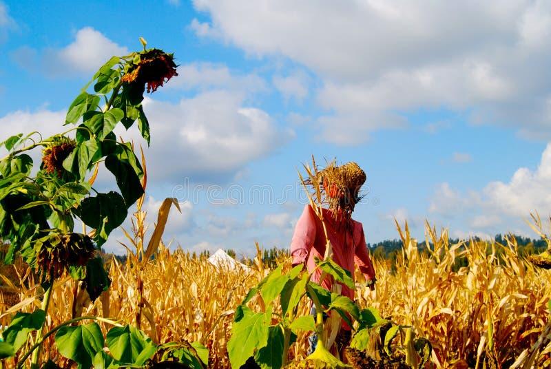 Épouvantail dans le domaine de maïs avec le tournesol images stock