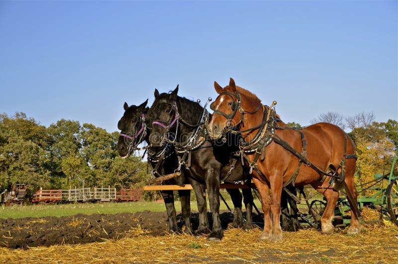 Équipe de trois chevaux labourant le champ images libres de droits