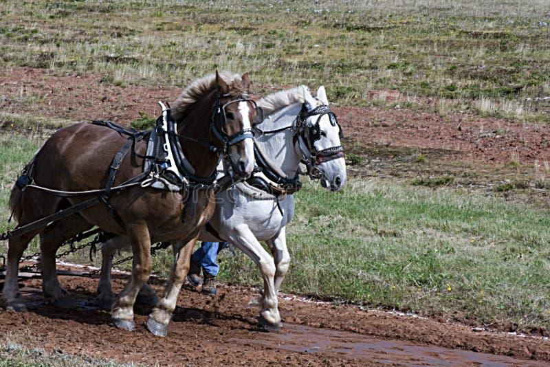 Équipe des chevaux photos stock