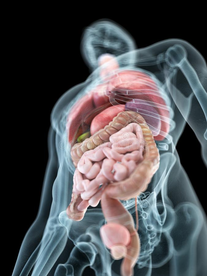 Équipe les organes internes illustration de vecteur