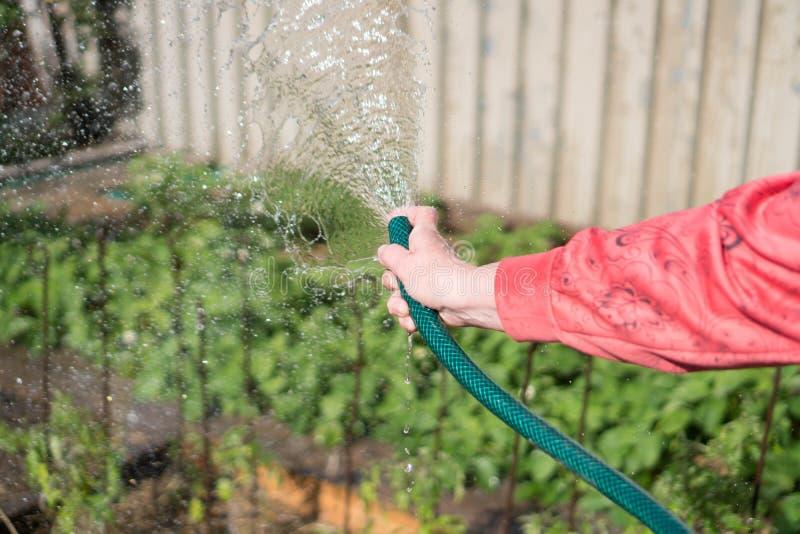Équipement de jardin de arrosage - la main de la femme maintient un tuyau pour des usines d'arrosage Jardinier avec de l'eau de a photographie stock
