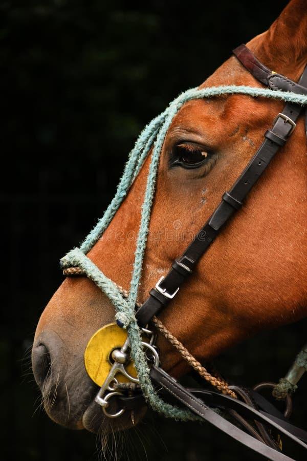 Équipement de polo Tête de cheval avec des freins photo stock
