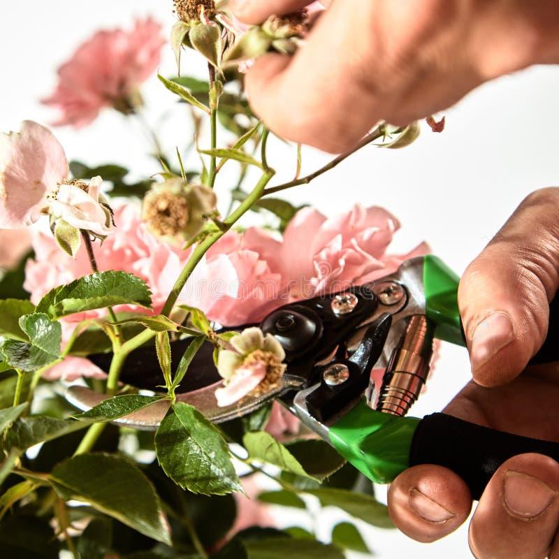 Équipez l'élagage un rosier rose pendant l'été photos libres de droits