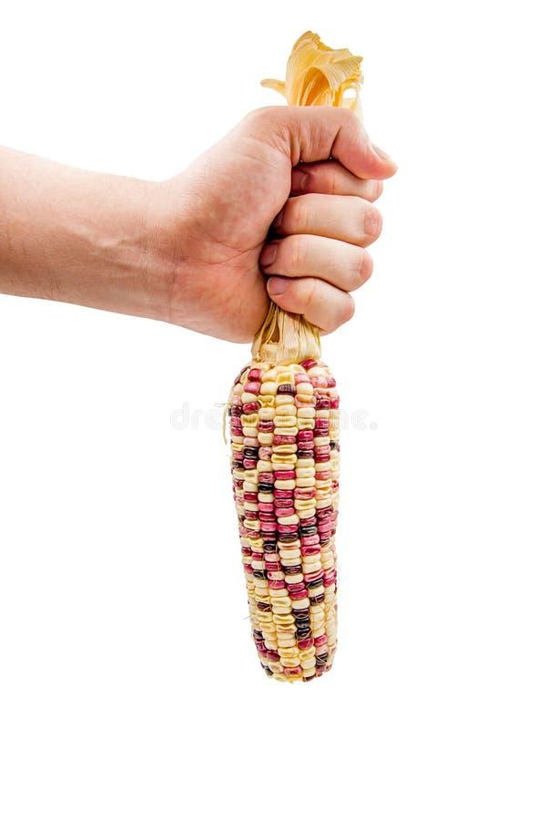 Équipez la main jugeant l'épi de maïs d'isolement sur le blanc avec le chemin de coupure images libres de droits