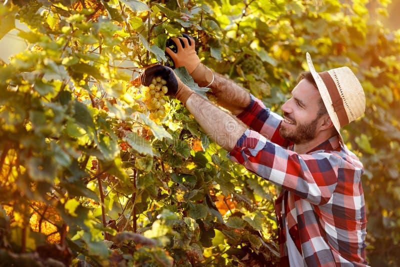Équipez la moissonneuse coupant le groupe de raisins dans le vignoble photographie stock