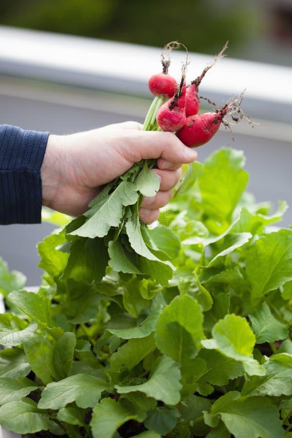 Équipez le radis de cueillette de jardinier du jardin végétal de récipient sur b photo libre de droits