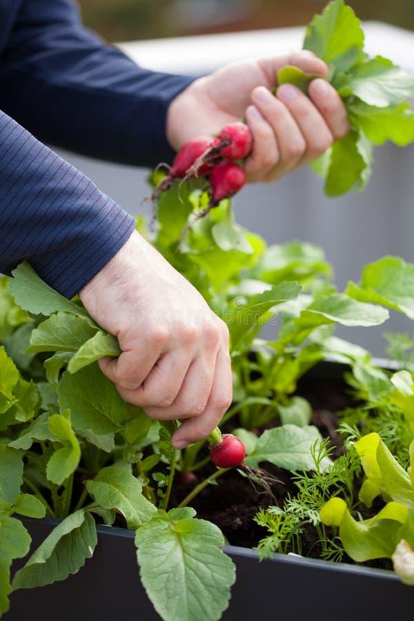Équipez le radis de cueillette de jardinier du jardin végétal de récipient sur b image libre de droits