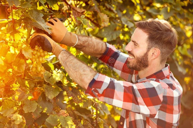 Équipez le travail dans le vignoble prenant les raisins mûrs images libres de droits