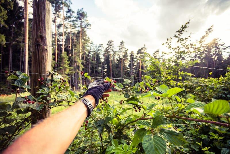 Équipez rassemble et mange la mûre en voyage de recyclage dans la forêt image libre de droits