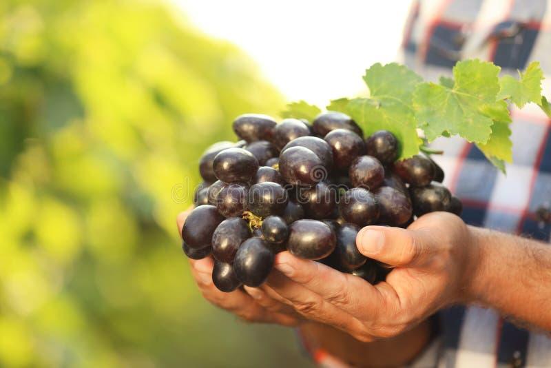Équipez tenir le groupe de raisin juteux mûr frais images stock