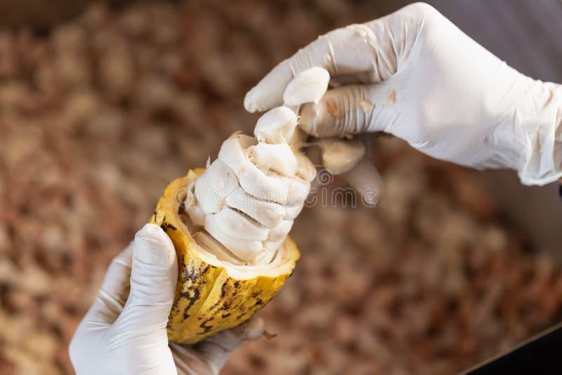 Équipez tenir un fruit mûr de cacao avec des haricots à l'intérieur images libres de droits