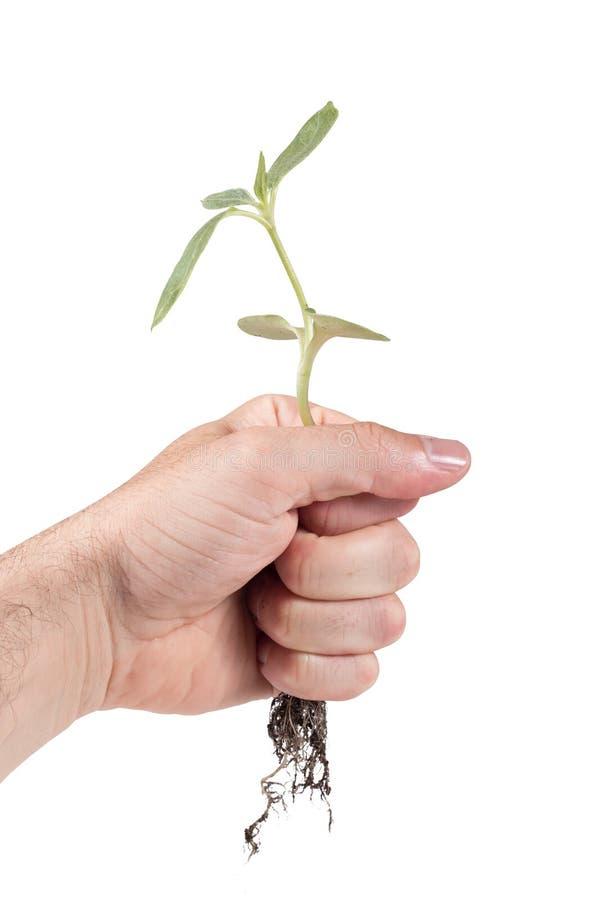 Équipez tenir une plante verte déracinée dans sa main image libre de droits
