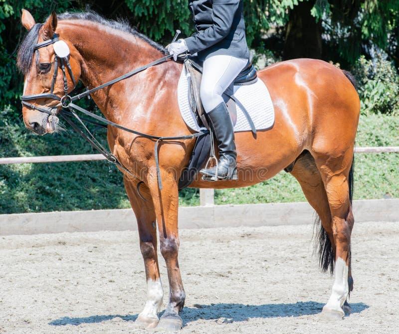Équitation de dressage de sport équestre sur un cours de dressage photos libres de droits