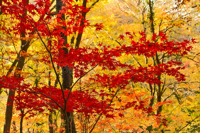 Érable d'automne. photos libres de droits