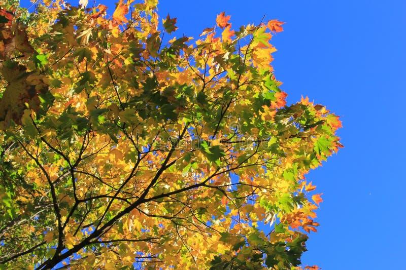Érable d'automne images libres de droits