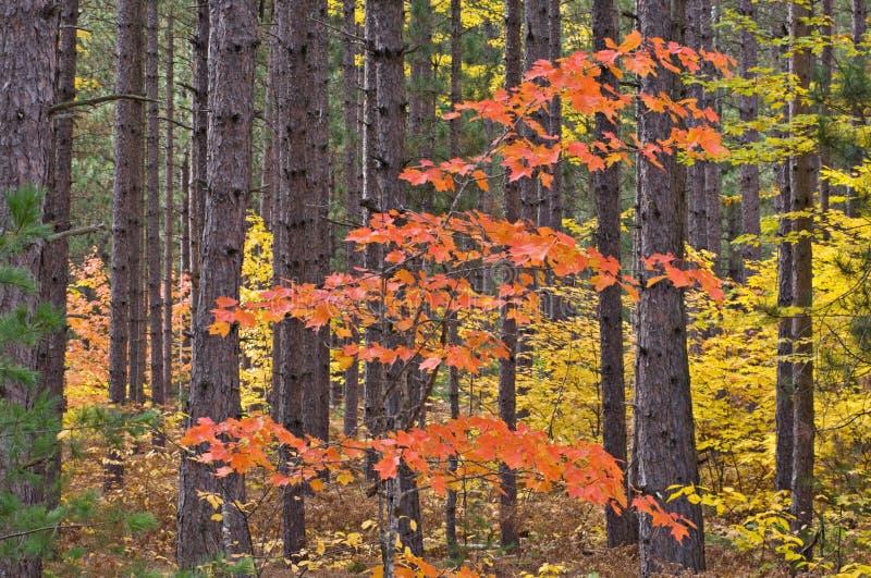 Érable d'automne dans les pins photographie stock
