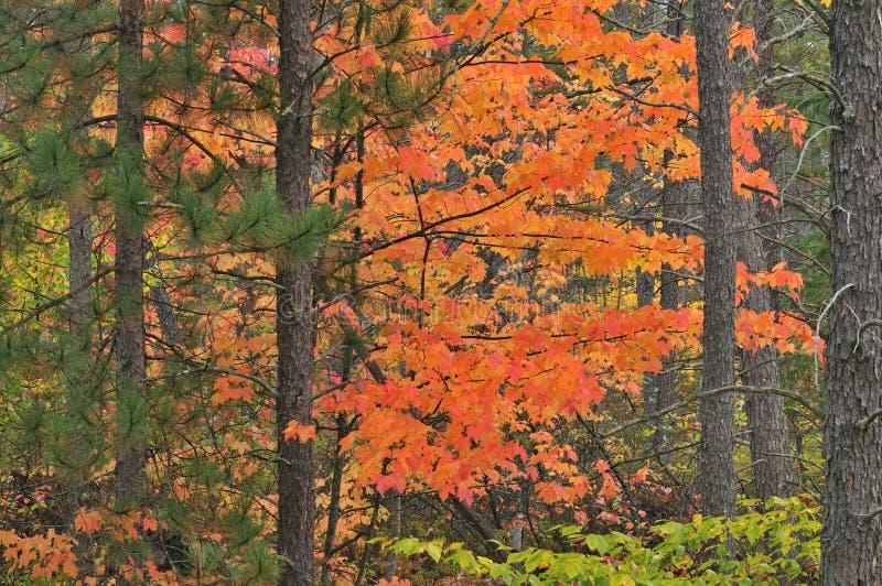 Érable et pins d'automne photographie stock libre de droits