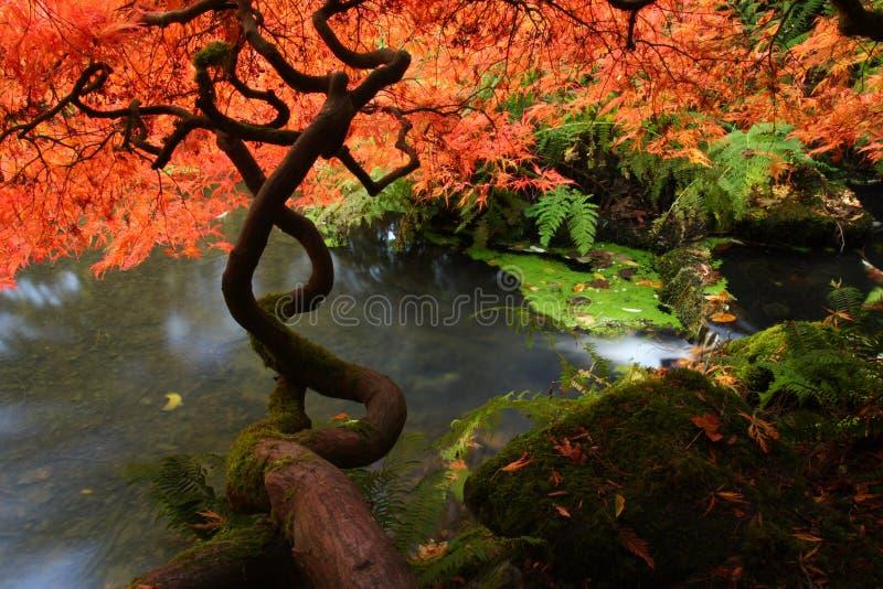 Érable japonais pendant l'automne image libre de droits