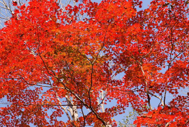 Download Érable rouge image stock. Image du rouge, rural, branchement - 2148593