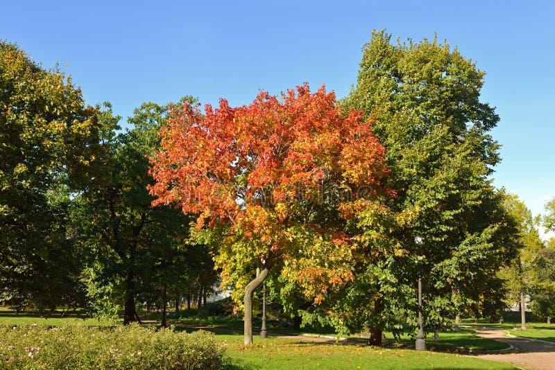 Érable rouge en parc de couvent de Novodevichy Moscou, Russie photo stock
