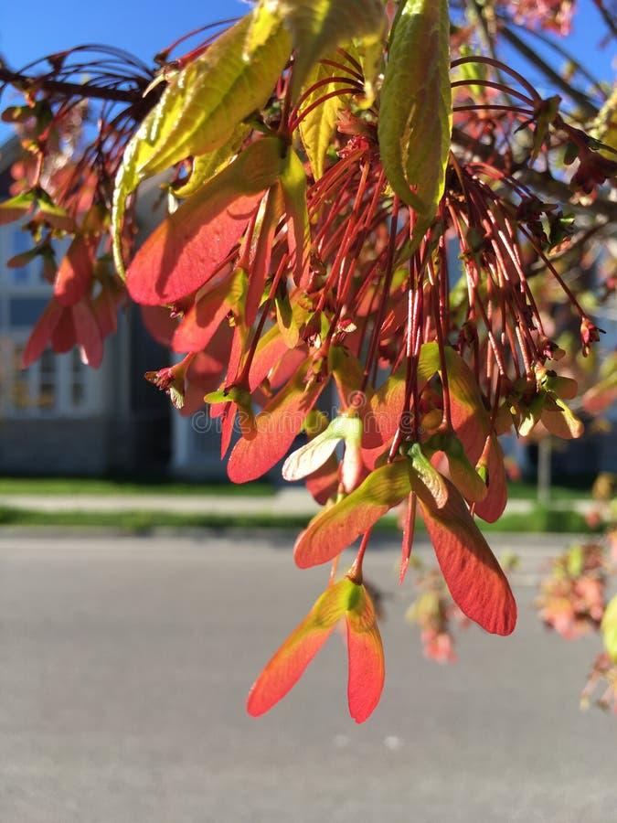 Érable rouge fleurissant au printemps photos stock